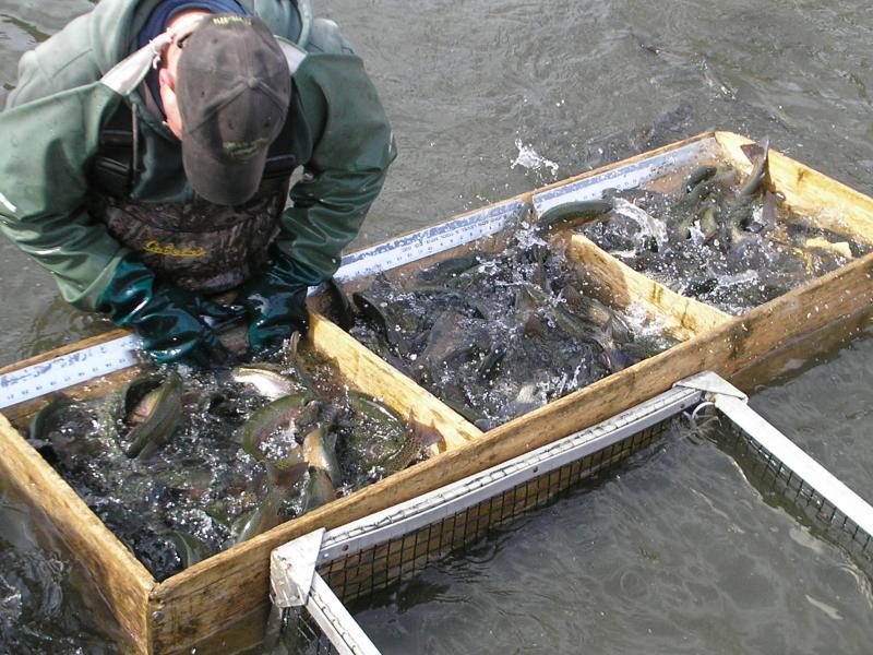 Green spring trout farms inc pricing for The fish 95 5